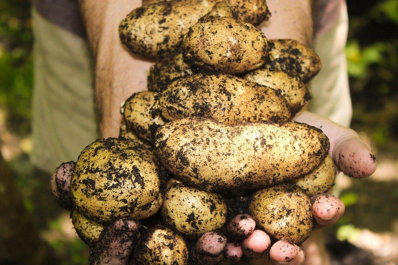 tour à patate pour cultiver